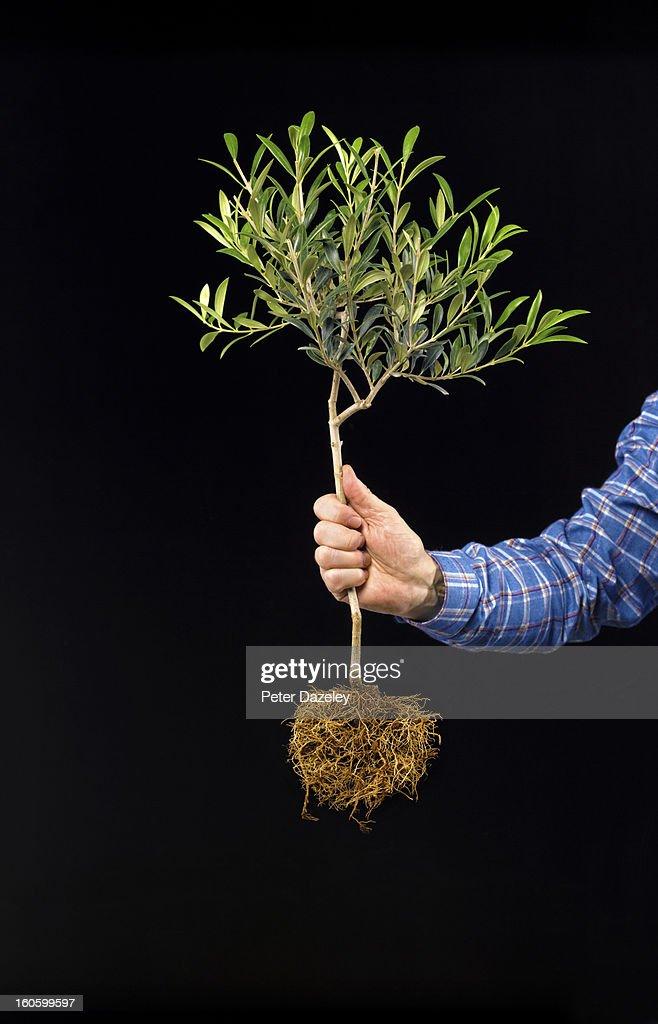 Man holding olive tree against black : Stock Photo