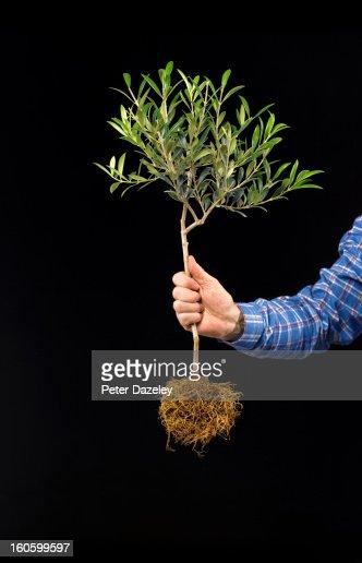 Man holding olive tree against black : Stockfoto