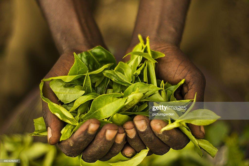 Man Holding Tea Leaves