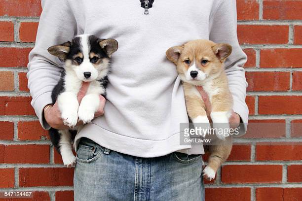 Man holding two Corgi puppies