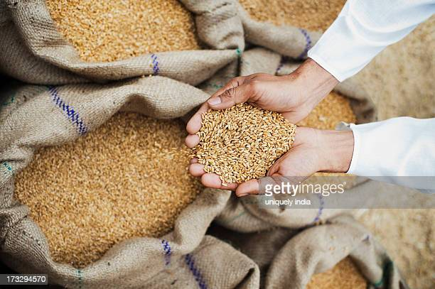 Man holding wheat grains from a sack in his cupped hands, Anaj Mandi, Sohna, Gurgaon, Haryana, India