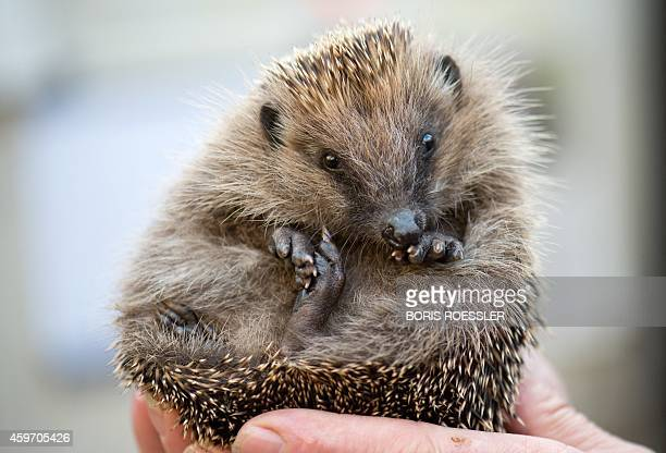 A man holds a hedgehog at a private hedgehog shelter in Bad Nauheim western Germany on November 25 2014 AFP PHOTO / DPA / BORIS ROESSLER / GERMANY OUT
