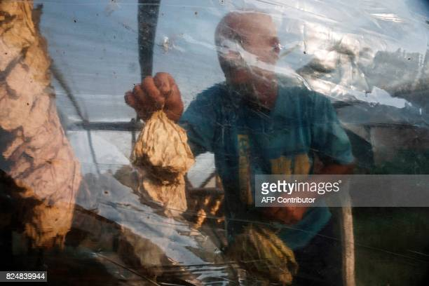 A man holds tobacco leaves from a tobacco drying shed in the village of Kukuryak southeast of the Bulgarian capital Sofia on July 12 2017 Bulgaria...