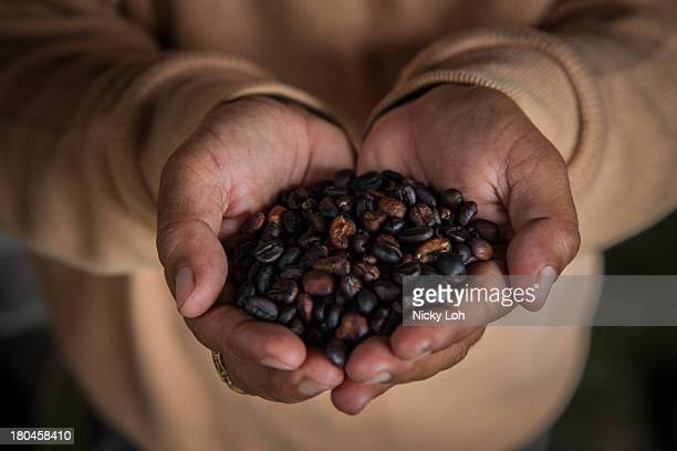 A man holds up roasted Kopi Luwak coffee seeds inside a 'Kopi Luwak' or Civet coffee farm and cafe on May 27 2013 in Tampaksiring Bali Indonesia...