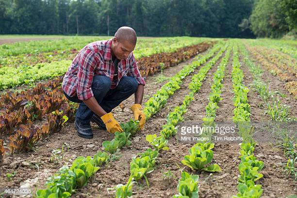 A man in a field of small salad plants growing in furrows.