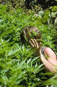 Man in cannabis field