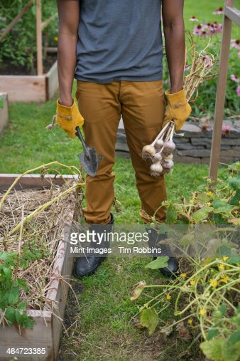 A man in gloves harvesting garlic bulbs in the vegetable garden.
