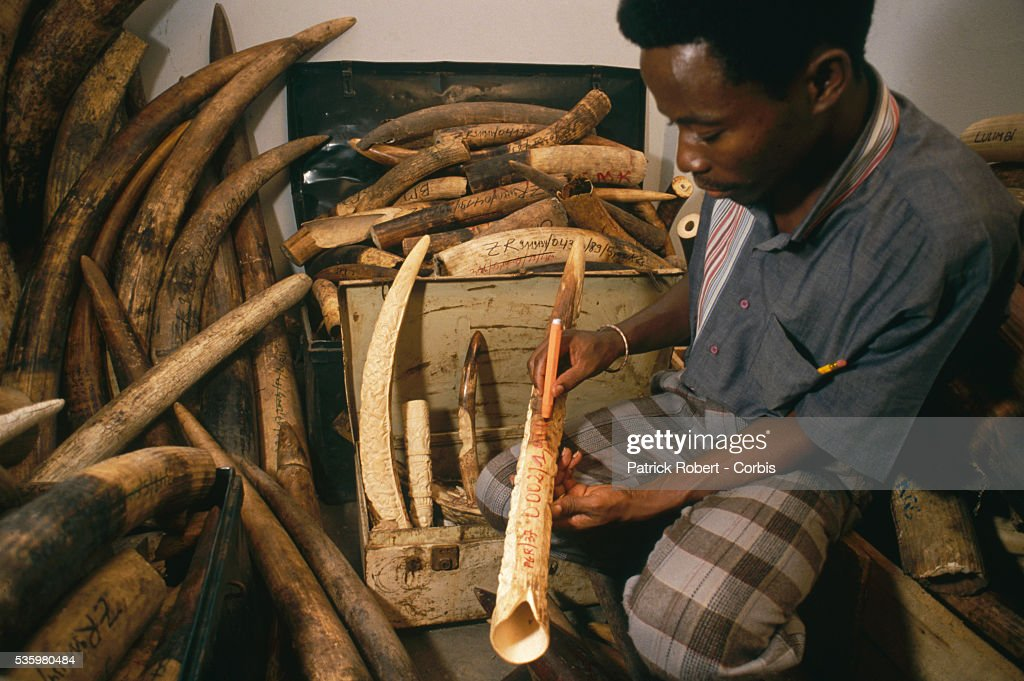 A man in Kinshasa marks a confiscated elephant tusk with a pen to document where and when it was seized. Poaching and the illegal trafficking of ivory are an ongoing problem in Zaire (now the Democratic Republic of Congo).