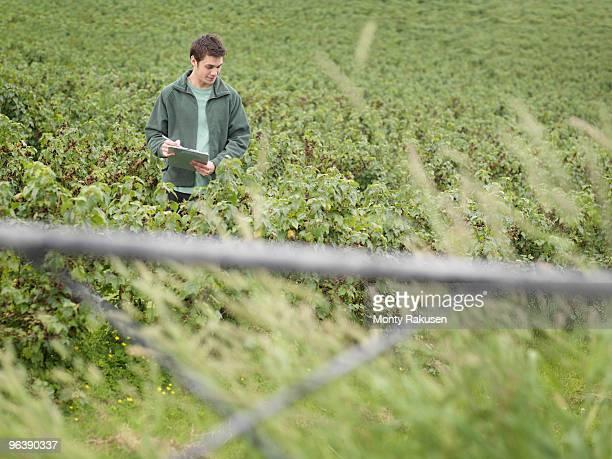 Man Inspecting Blackcurrants In Field