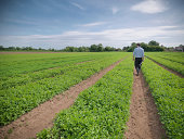 Man inspecting field of crops