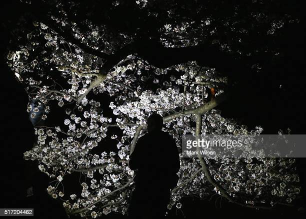 A man inspects a blooming Cherry Blossom tree along the Tidal Basin March 24 2016 in Washington DC The National Park Service has predicted that the...