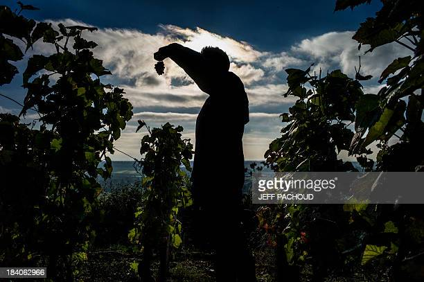 A man inspects a cluster of grapes in Faiveley in NuitsSaintGeorges during the harvest period on October 7 2013 AFP PHOTO / JEFF PACHOUD