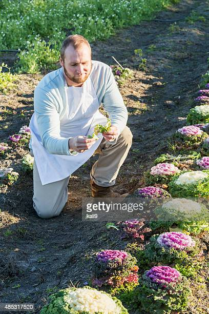 Man kneeling on farm examining crop of kale