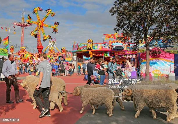 A man leads a herd of ram past theme park rides as they leave the 159th annual Royal Melbourne Show at the Royal Melbourne Showgrounds on September...