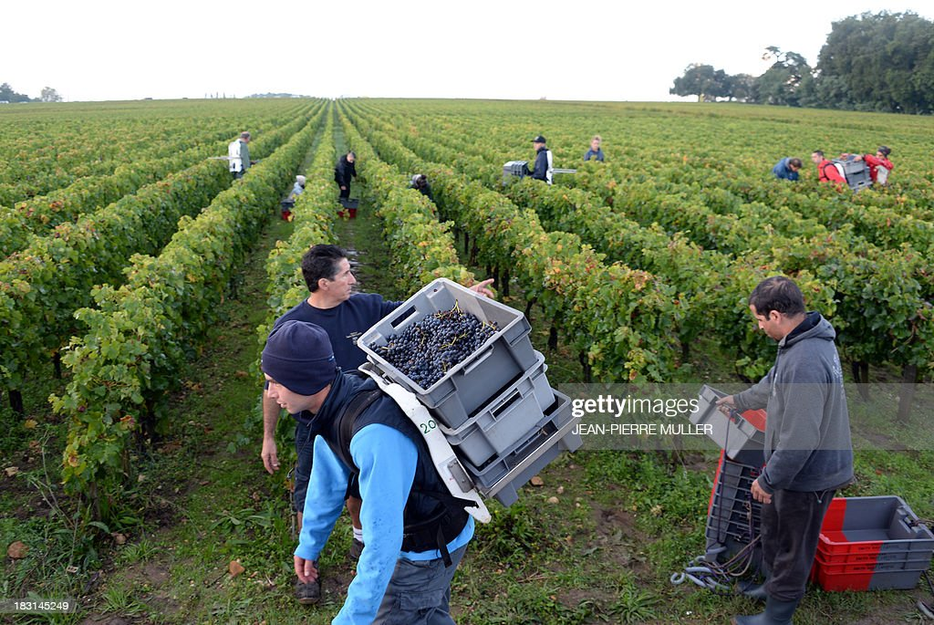 A man leaves with a crate filled with grapes during the harvest in a 'Graves' grand cru parcel, on October 5, 2013, in Martillac (Bordeaux area). France is facing one of its poorest wine grape harvests in four decades, due to a cold and rainy spring and severe summer and autumn hail storms. 'Grand cru' is one of the highest classification for French wines.