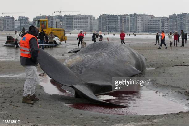 A man lifts on February 8 2012 the tail of a stranded 13meter long sperm whale on the beach of the Belgian resort of KnokkeHeist The anamal was dying...