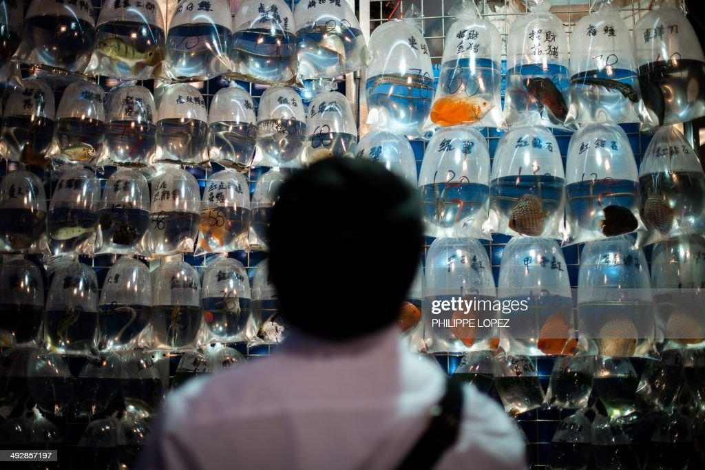 A man looks at pet fish displayed in plastic bags with their respective price tags in Hong Kong on May 22, 2014. Keeping fish is very popular in the densely populated city in as animal lovers seek out less space-hungry pets. AFP PHOTO / Philippe Lopez