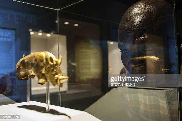 A man looks at the Golden Rhino Figurine exhibited at the University of Pretoria in South Africa on September 23 2015 The Mapungubwe Golden Rhino is...
