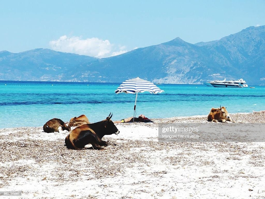 Man Lying On Shore With Cows At Beach Against Sky
