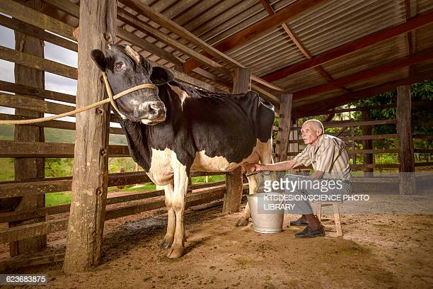 Man milking a cow in a barn