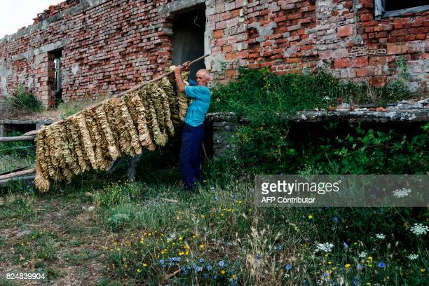 A man moves tobacco leaves from a tobacco drying shed in the village of Kukuryak southeast of the Bulgarian capital Sofia on July 12 2017 Bulgaria...