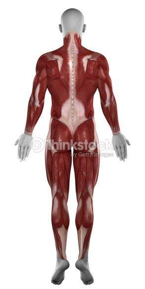 Mann Muskeln Anatomie Isoliert Hintere Blick Stock-Foto | Thinkstock