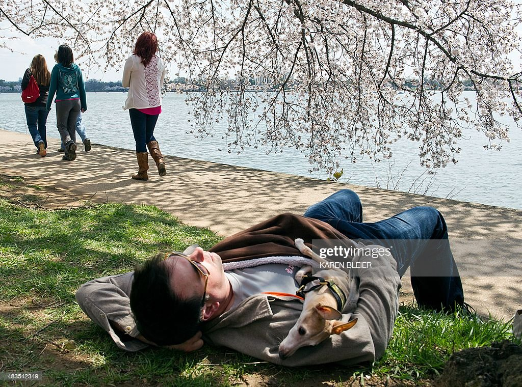 A man naps with his dog under blooming cherry trees April 9, 2014 near the Tidal Basin in Washington, DC. The trees should be at peak bloom over the coming weekend.The first cherry trees were ceremonially planted by First Lady Helen Taft and Japanese Viscountess Iwa Chinda on March 27, 1912. Over 3,000 trees were planted throughout the modern National Mall and Memorial Parks as a gift from Yokohama, Japan to Washington. AFP PHOTO / Karen BLEIER