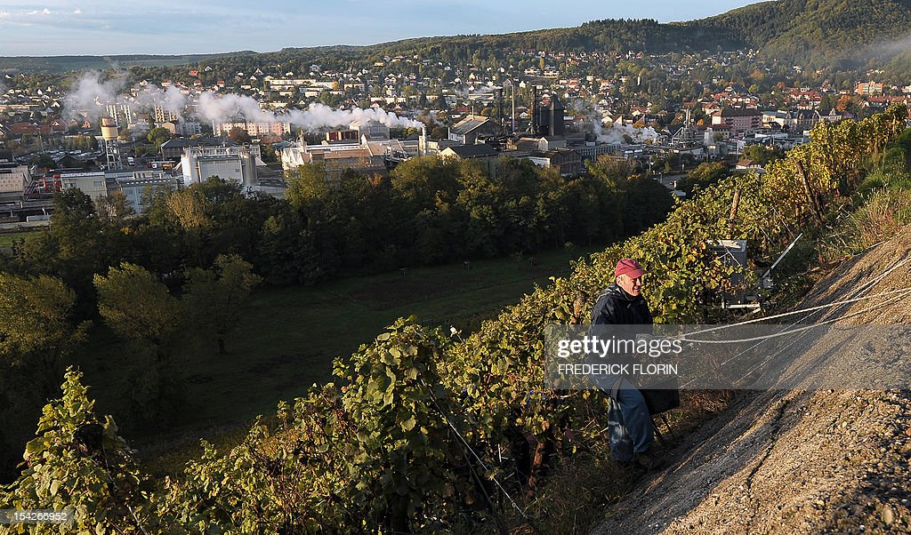 A man participates in the grape harvest of the Grand Cru Rangen, on October 17, 2012 in Thann, eastern France. The rows of the vineyard overhangs the city with a gradient of 45 to 100.
