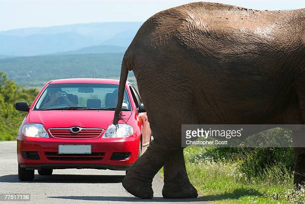 Man Photographing an African Elephant  (Loxodonta?africana) Crossing a Road in Front of a Red Car.. Addo Elephant Park, Eastern Cape Province, South Africa