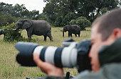 Man photographing elephant (Loxodonta africana)