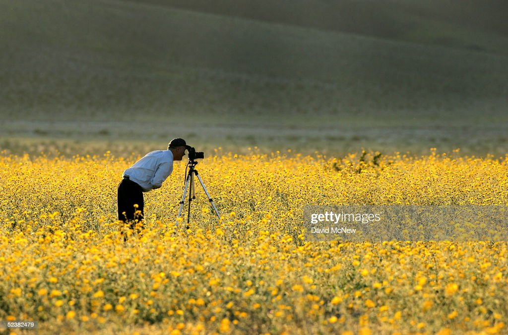 A man photographs a field of desert wildflowers west of Jubilee Pass on March 12 2005 in Death Valley National Park California The wettest year on...