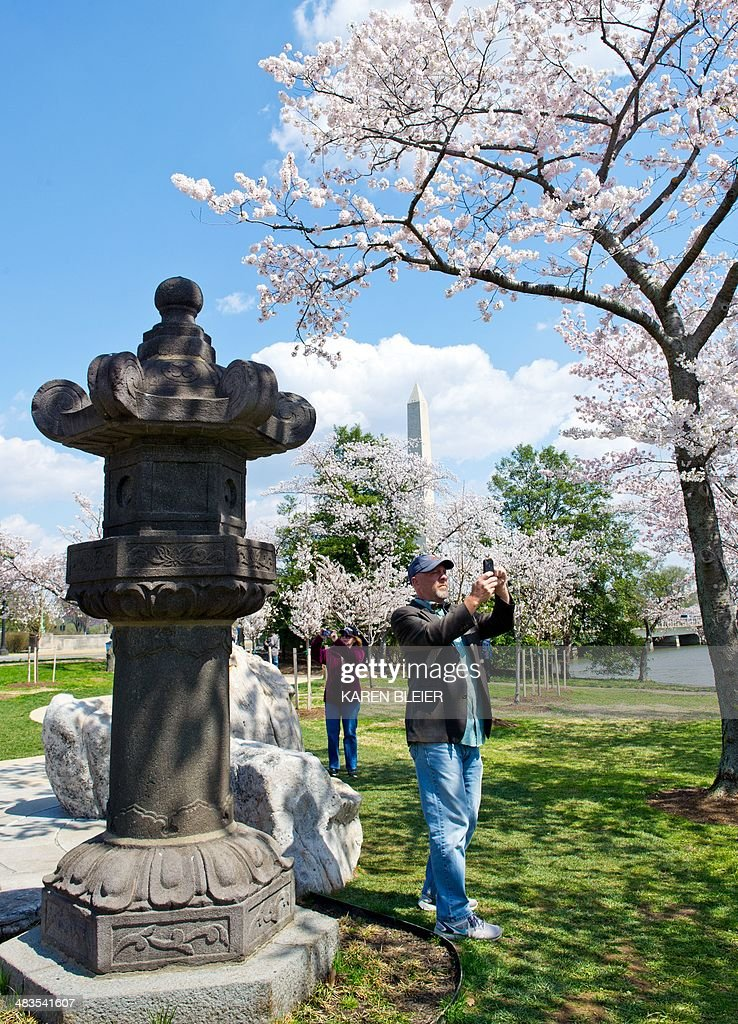 Washington 39 S Famed Cherry Blossoms Mark Advent Of Spring