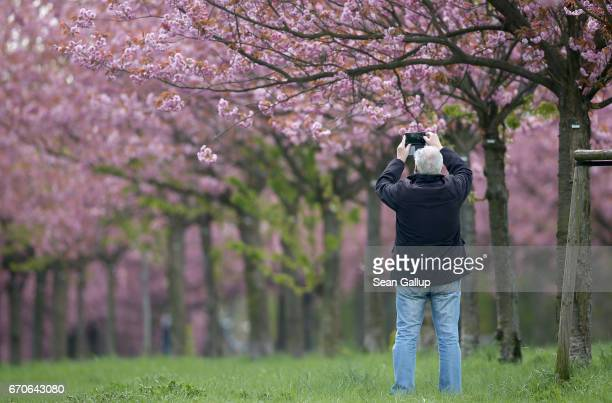 A man photographs blossoming cherry trees on April 20 2017 in Berlin Germany Farmers are concerned that a recent cold snap that brought snow flurries...