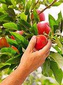 Man picking apple from tree, close up of hand