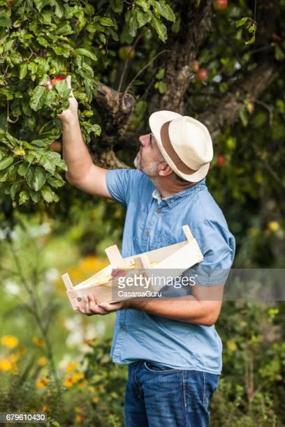 Mann pflücken Äpfel In Bio-Obstgarten