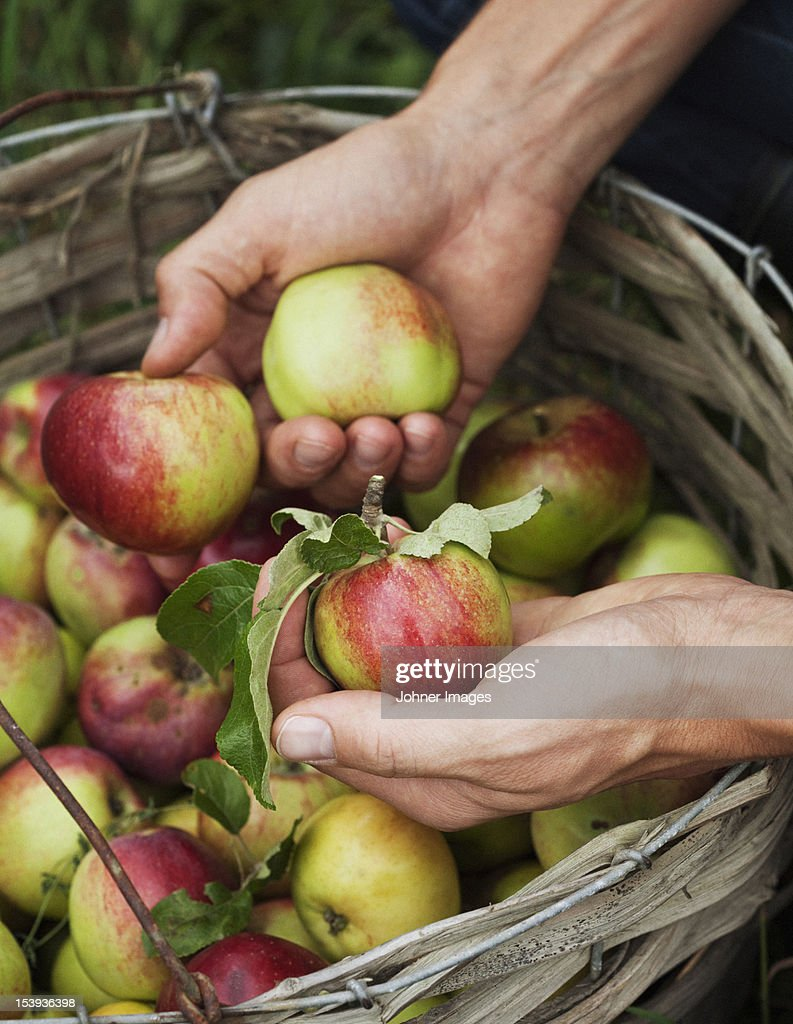 Man picking apples