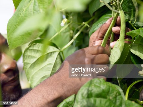 Man picking beans : Foto stock
