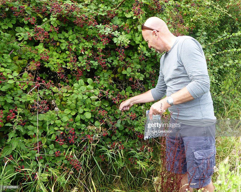 Man picking blackberries