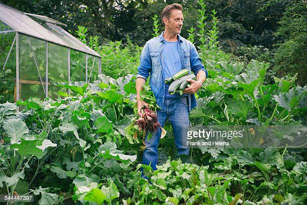 Man picking courgettes and beetroot on allotment