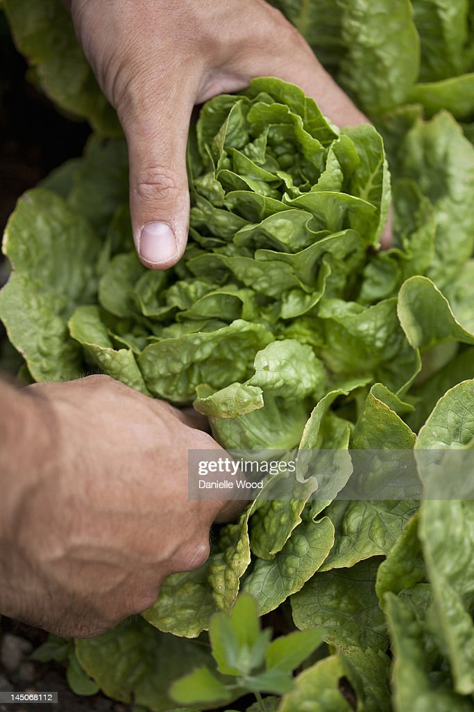 Man picking head of lettuce : Stock Photo