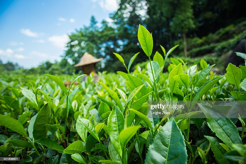A man picking tea in tea garden
