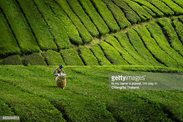 Man picking tea leaves