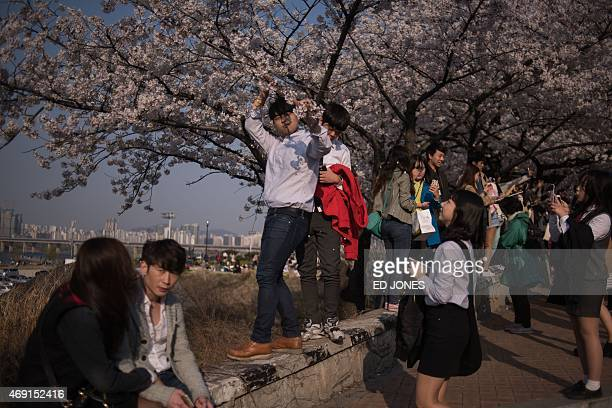 A man picks cherry blossoms for a woman in Seoul on April 10 2015 AFP PHOTO / Ed Jones