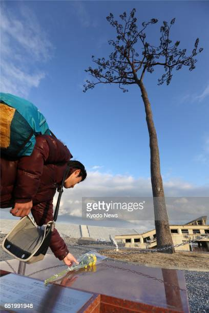 A man places a flower on March 11 in front of the 'miracle pine' the only survivor of the earthquake and tsunami six years earlier that wiped out a...