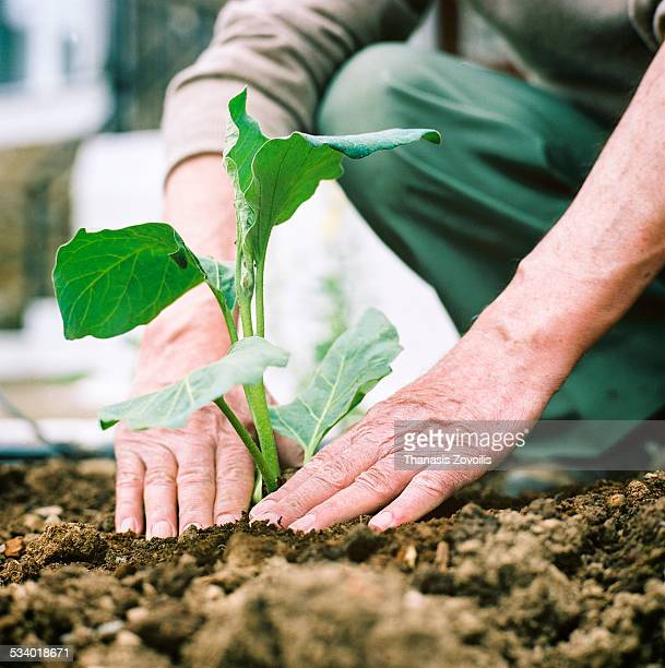 Man planting seedling