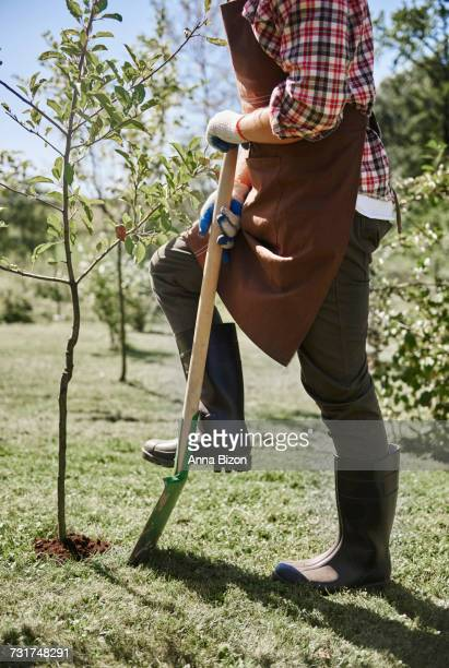 Man planting young tree in garden. Debica, Poland