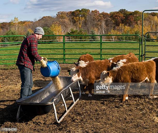 Man Pouring Corn Into Feed Bunk For Calves