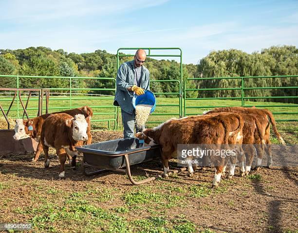 Man Pouring Corn Into Feed Bunk For Calves
