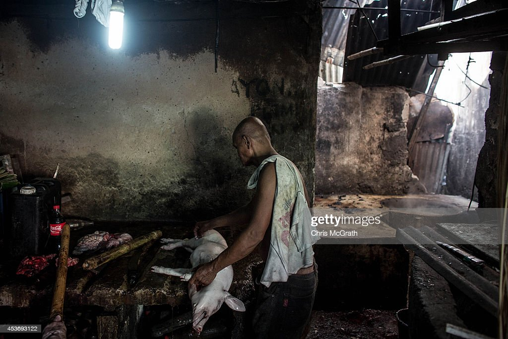 A man prepares a pig for roasting in the Magallanes district on August 16, 2014 in Tacloban, Leyte, Philippines. Fiesta is an annual celebration held by each town. The day generally starts with an early morning parade, before families gather at home for a large lunch often sharing the Philippine national food Lechon. (roasted pork) Residents of Tacloban city and the surrounding areas continue to focus on rebuilding their lives nine months after Typhoon Haiyan struck the coast on November 8, 2013, leaving more than 6000 dead and many more homeless. With many businesses and government operations back up and running and with the recent start of the years typhoon season, permanent housing continues to be the main focus with many families still living in temporary accommodation. As well as continuing recovery efforts Leyte is preparing for the arrival of Pope Francis, who will visit the region from January 15- 19. on August 16, 2014 in Tacloban, Leyte, Philippines.