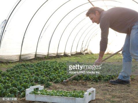 Man prepares garden/flower bed inside greenhouse : Stockfoto